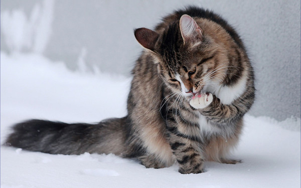 christmas_snow_cat